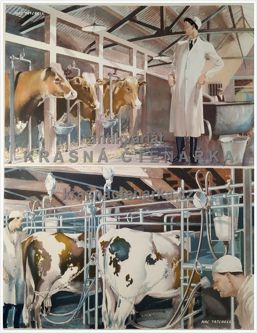 Macmillan's History Pictures: ATTENDING TO DAIRY COWS