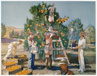 Macmillan's History Pictures: GATHERING ORANGES IN SOUTH AFRICA